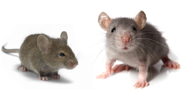 pest control wirral and chester mice