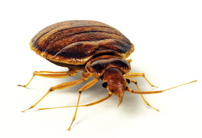 Bedbugs Wirral and Chester